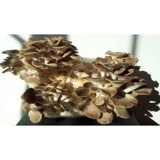 Kastanienseitling (Edelausternpilz) Körnerbrut 1 Liter