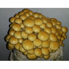Goldkäppchen Fertigkultur ca. 2,5kg (Pholiota nameko)